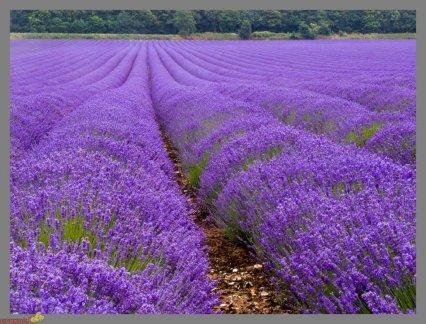 lavender-03