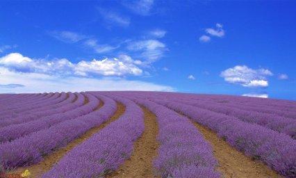 lavender-05