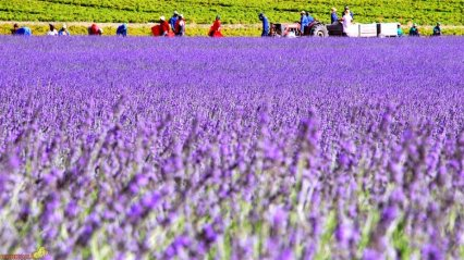 lavender-06